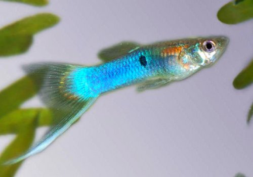 Гуппи японская голубой меч (Guppy Japanese Blue Swordtail)