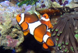 (Amphiprion percula) 90f