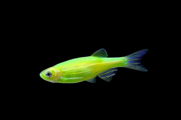 GloFish_Electric_Green_Danio_BB__50174_grande