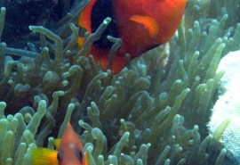 anemonfish_red_saddleback